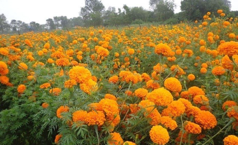 दशैँ र तिहारमा पर्याप्त फूल दिन सकिन्न - व्यवसायी