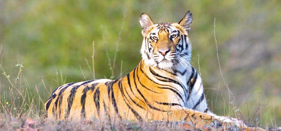 बाघ संरक्षणसँगै मानवीय क्षतिको चुनौती